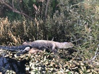 Victoiria McDavid saw this dead alligator Tuesday (8/20/2019) in the southern reaches of Lake Washington. She says she also saw about 20 dead bass in the area, ranging from five to 10 pounds.