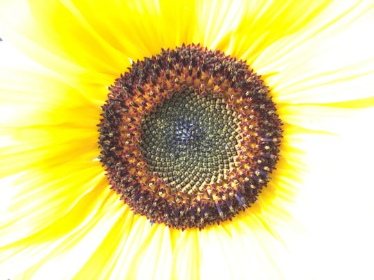 The center, seed-forming portion of a sunflower ripens in Burlington on Aug. 15, 2019.