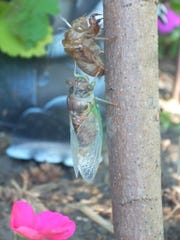 A cicada emerges from its shell in a backyard in Burlington in 2010.