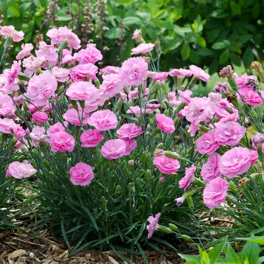 Dianthus is a traditional herb-garden plant. The flowers are edible: Use them to decorate cakes, or sprinkle them on a salad. At one time, the flowers were used to flavor wine.