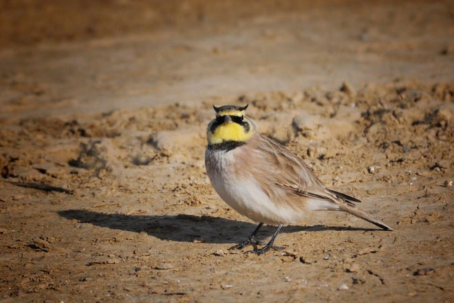 Horned larks sport little feather tufts on their heads that cause them to look as if they have miniature horns. Once common in harvested agricultural fields, their numbers have dwindled in recent years.