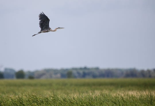 A great blue heron flies over cattails August 20, 2019 on Rush Lake. Doug Raflik/USA TODAY NETWORK-Wisconsin