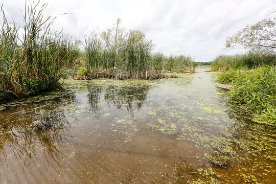 A boat launch at Rush Lake shows an area of open water, but about 90 percent of the 3,000-acre Prairie pothole lake is covered with invasive cattail. Tuesday, August 20, 2019, Doug Raflik/USA TODAY NETWORK-Wisconsin