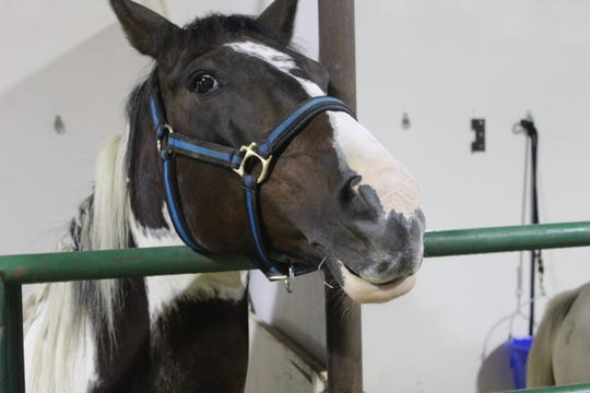 This horse stayed dry Tuesday at the Sandusky County Fair, as rain outside forced the cancellation of evening Fremont Speedway races at the fairgrounds.