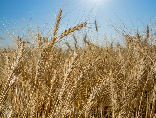 Mitch Konen's winter wheat crop north of Fairfield last week.