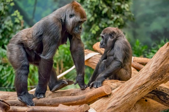 Western lowland gorilla Shalia and her offspring, 4 ½-year-old Sulaiman (Sully), will be transferred from the Milwaukee County Zoo to the Columbus Zoo and Aquarium.