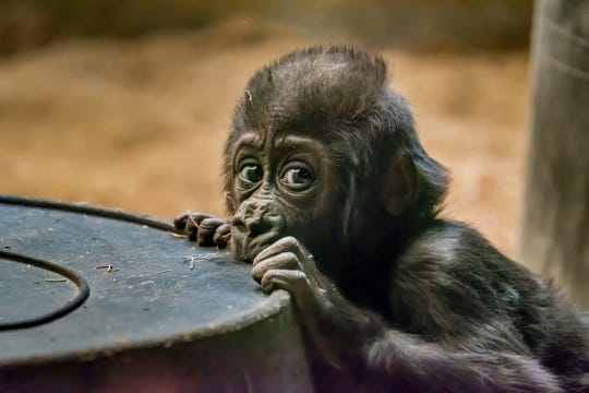 Baby gorilla Zahra was transferred from the Milwaukee County Zoo to the Columbus Zoo and Aquarium following the death of her parents, Cassius and Naku, in 2018.