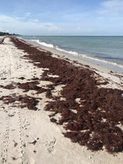Sargassum seaweed sits on the shore near Lowdermilk Park in Naples on Saturday, Aug. 17, 2019. The seaweed is nontoxic, but emits hydrogen sulfide gas, which smells like rotten eggs.