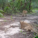 Florida panthers, bobcats showing signs of poisoning, neurological damage