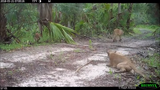"""We have confirmed neurological damage in one panther and one bobcat,"" according to the Fish and Wildlife Research Institute. Trail camera footage shows eight panthers (mostly kittens) and one adult bobcat displaying varying degrees of trouble walking or difficulty coordinating their back legs."