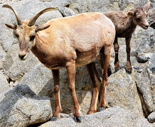 Desert bighorn sheep can be found in the mountains and near mining areas in Lucerne Valley.