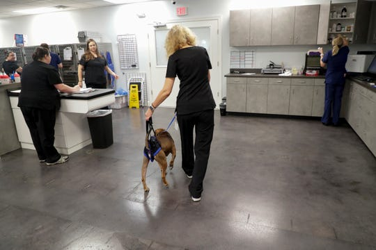 Veterinary Technician Cathey DeMay assists Kolbie, an adoptable mixed breed dog with walking after he was hit by a car, at Capital Veterinary Specialists Thursday, August 16, 2019.