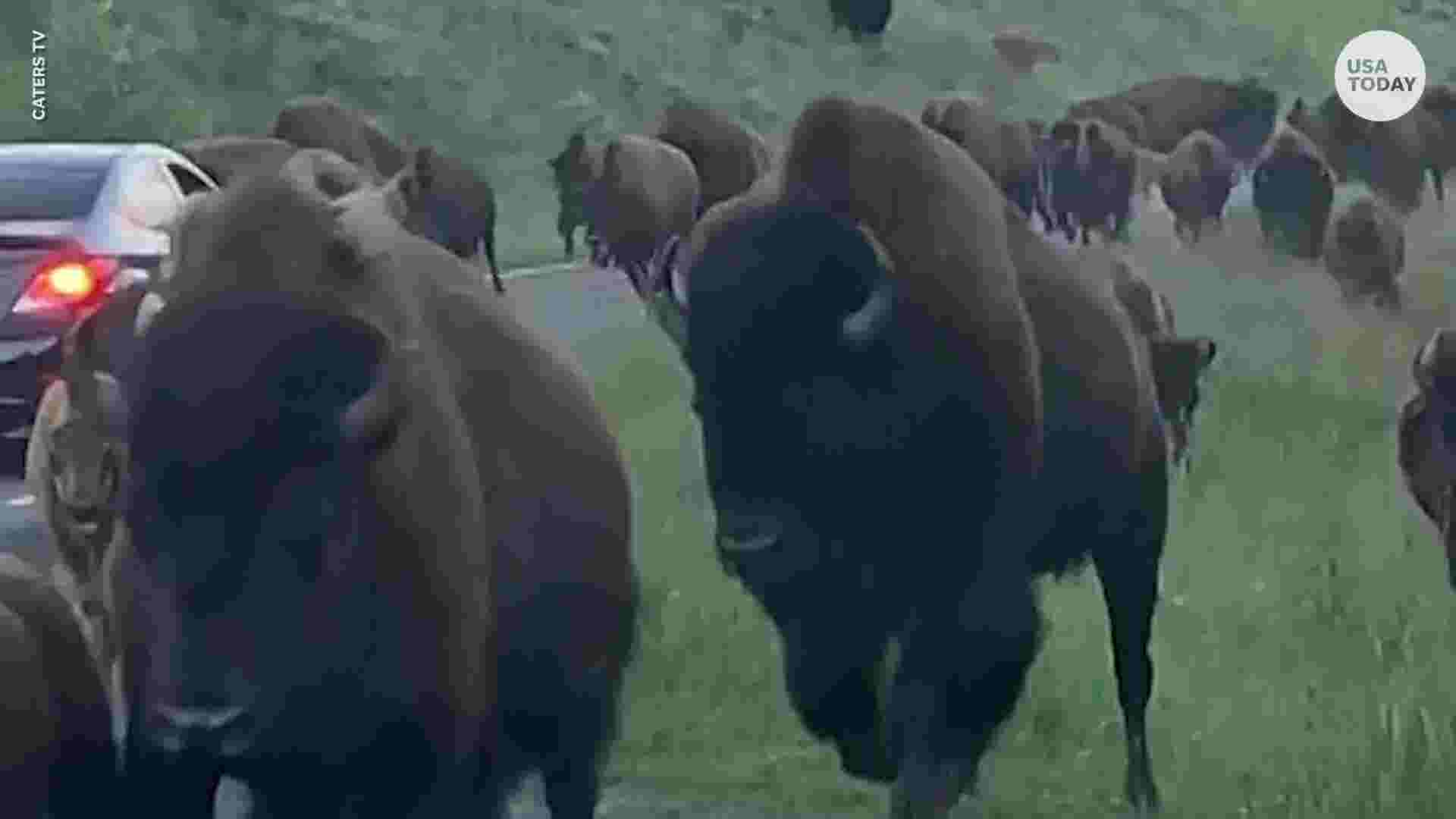 Giant bison slams into car at Yellowstone during stampede