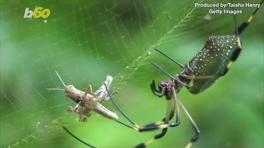 Hurricanes are making spiders more aggressive: It's rapid evolution at work, study says