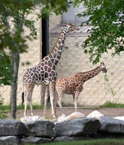 Reticulated giraffes Jabari, left, a male, and Kivuli, a female, stand together in their habitat at the Detroit Zoo.