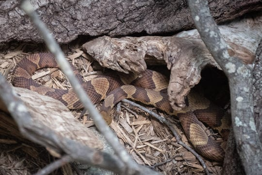A copperhead snake at the Greenville zoo.