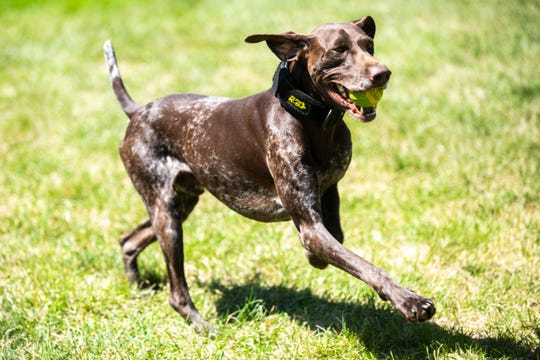 University of Iowa police officer K9 Hogan plays with his ball, Thursday, Aug. 22, 2019, on the west side of the Pentacrest, in Iowa City, Iowa. K9 Hogan is a two-year-old German Shorthaired Pointer.