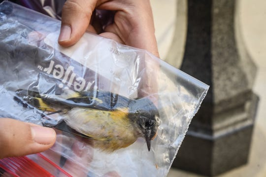 Linnea Rowse of Michigan Audubon holds a dead American redstart collected Thursday morning, Aug. 22, 2019, during a bird monitoring expedition in downtown Lansing. Volunteers try to track birds who die as a result of collisions with windows in urban areas. This American redstart is a migratory warbler whom Rowse believes was headed to Central or South America until it died, most likely by crashing into a window on the Mason Building downtown.