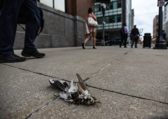 Pedestrians walk past a bird carcass on the sidewalk along Capital Ave. beneath Boji Tower Tuesday, Aug. 20, 2019.  Some of the birds are fallen prey from raptors like peregrine falcons, while others fall to their death due to window collisions.
