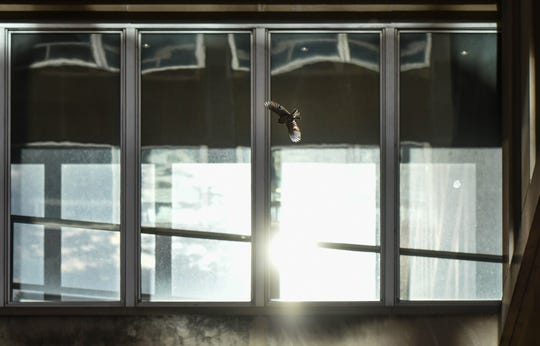 A bird changes flight after a near run-in with a set of windows on the Mason Building in downtown Lansing.