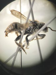 Scientists found a type of rare bee known as the Epeoloides pilosulus, or the cuckoo bee, this summer in the Chequamegon-Nicolet National Forest.