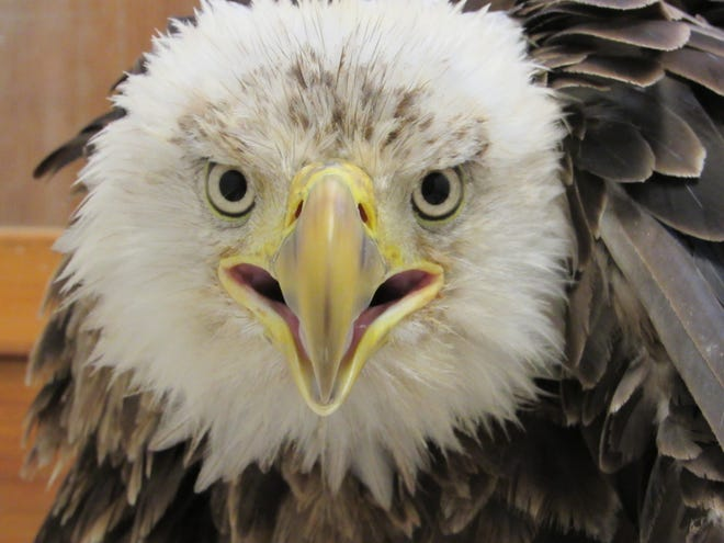 An adult male bald eagle, which was struck by a vehicle in the Hustisford area, continues to heal from its injuries at the Wildlife In Need Center. The eagle is expected to make a full recovery and eventually be released back into the wild.
