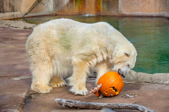 A polar bear enjoys a jack-o-lantern treat at the 2017 Halloween Spooktacular at the Milwaukee County Zoo.