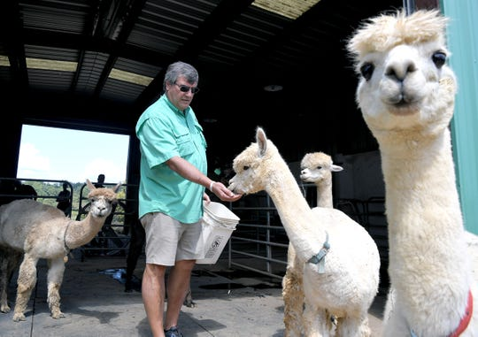 Vanderbilt University Associate Professor of Pharmacology Brian E. Wadzinski feeds alpacas at Litton Farms in Waverly on Monday, August 19, 2019.  Wadzinski helped launch Turkey Creek Biotechnology to research the animals' antibodies.