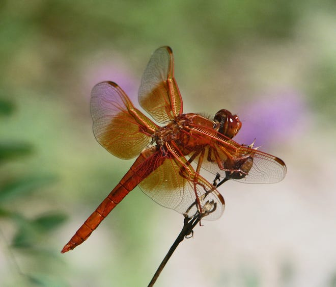 A flame skimmer pauses atop a stem tip to rest.