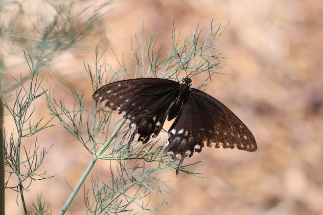 Black swallowtail adult butterfly on a dill plant at the NMSU Agricultural Science Center at Los Lunas in July 2019.