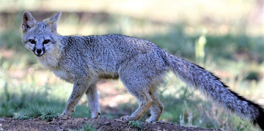 The fox never domesticated well. This gray fox was spotted north of Ruidoso.