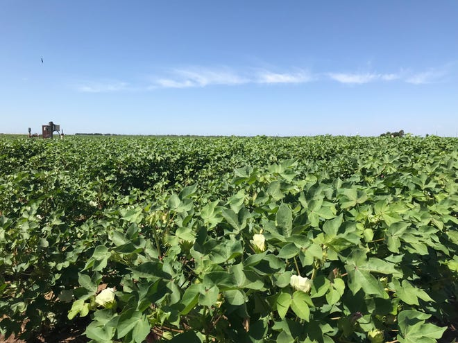 Waist-high cotton flowers under the August sun just outside of San Angelo on Thursday, Aug. 22. Record high temperatures across the Lone Star State are once again frustrating farmers, according to the latest crop report from Texas A&M AgriLife Extension Service.