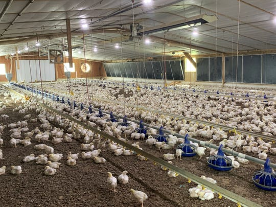 "17-day-old broiler chickens are shown inside a chicken house in 2019. This farm contains ""enrichments"" as a means to allow the birds to engage in natural behaviors, like perching, pecking and hiding, they would otherwise be unable to do on a barren floor."