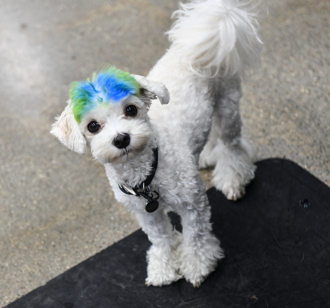 A dog sports a fresh cut Thursday, Aug. 22, 2019, at KNOTTY Paws in Sartell.