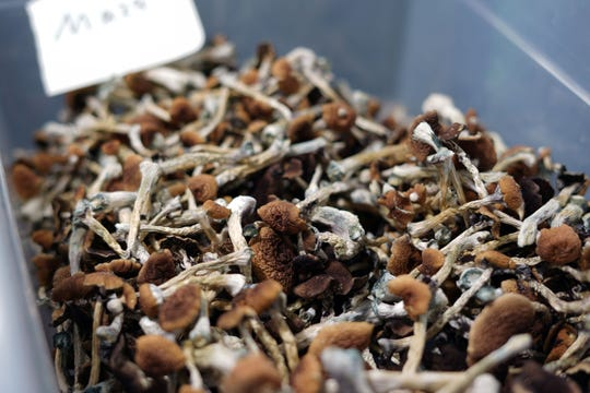 "Psilocybin mushrooms -- ""magic mushrooms"" --displayed by a grower in Denver. Once grown, the psychedelic mushrooms are dried and then either eaten raw or steeped into tea. Denver voters in May decriminalized the personal possession of the fungi, although police retain the right to arrest people for selling or distributing them in large quantities."