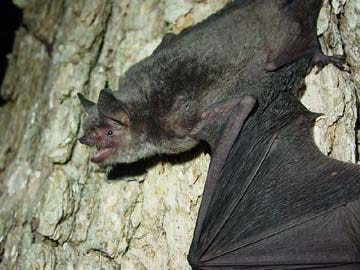 Gray bats typically weigh less than a half-ounce and live almost exclusively in caves year-round, according to the U.S. Fish and Wildlife Services.