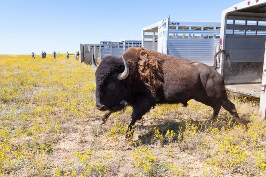 This Aug. 19, 2019 photo provided by the National Park Service shows bison from Yellowstone National Park being released on Montana's Fort Peck Indian Reservation under a program that aims to reduce the shipment of bison to slaughter and establish new herds of the animals. (Jacob W. Frank/National Park Service via AP)