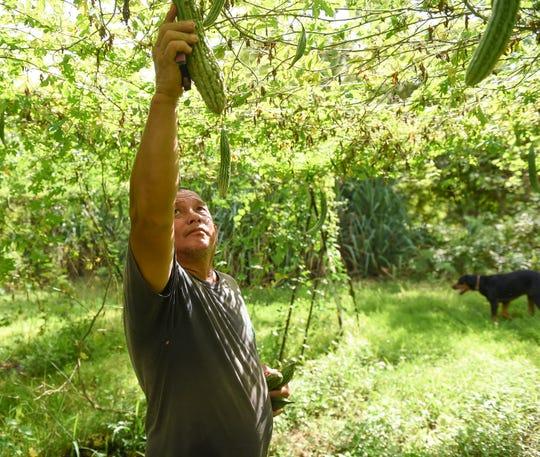 Ken Perez, a farm foreman, picks and grades a bitter melon at Watson Farm in Yigo, in this Aug. 23, 2019, file photo.