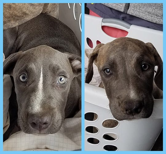 These puppies were surrendered by their owner to Indianapolis Animal Care Services after they tested positive for the Parvovirus.