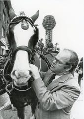 Dr. Hyram Kitchen, dean of UT College of Veterinary Medicine, tightens the harness on a Clydesdale, November 1981.