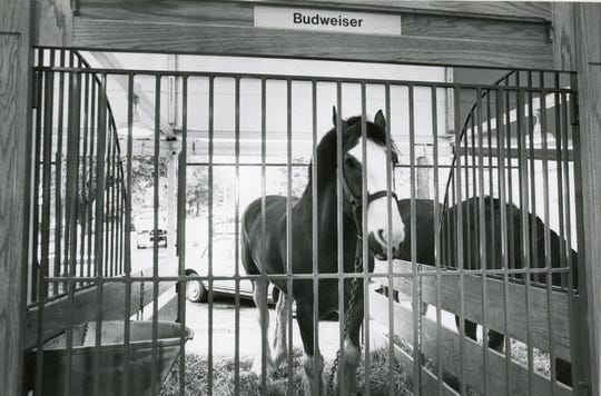 The Clydesdales that were featured at the 1982 World's Fair were housed in stables on the fairgrounds near the Candy Factory. Each horse required five hours of grooming before making a public appearance.