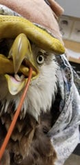 When the injured eagle was first brought to the Wildlife In Need Center in early July, it was on a critical care diet and had to be tube fed.