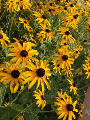 Rudbeckia is commonly called black-eyed susan.