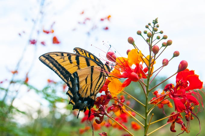 A Two-tailed Swallowtail Butterfly on a Red Mexican Bird of Paradise in Cottonwood.