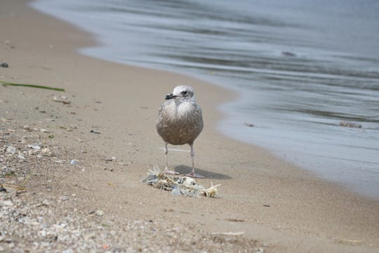 A seagull picks the scraps off of what remains of a fish washed ashore in Port Clinton. The harmful algal bloom is out across much of western Lake Erie in late August.