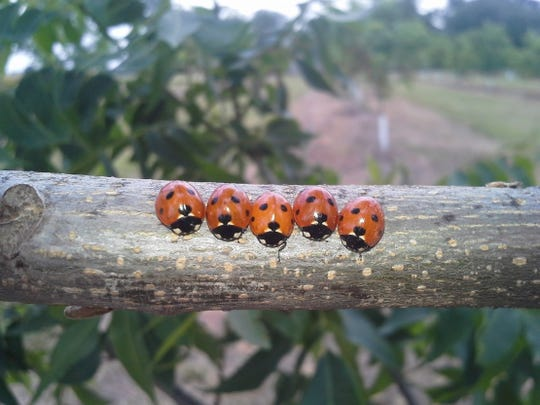 Lady bugs can be a great help with aphids, for folks who would rather try non-chemical means of dealing with pests.