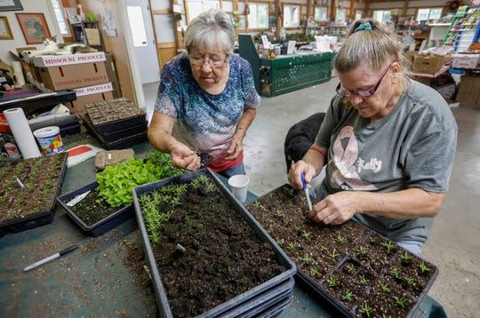 Theta Steinert, left, and Carolyn Willoughby transplant creeping phlox at Steinert's Greenhouse & Gardens on Thursday, Aug. 22, 2019.