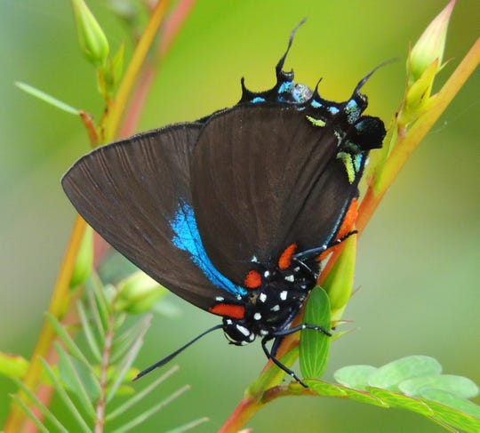 The great purple hairstreak is the mascot for the local butterfly association.