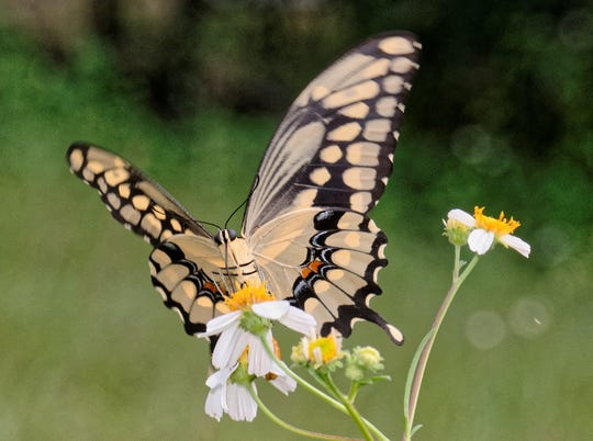 Giant swallowtail butterfly.