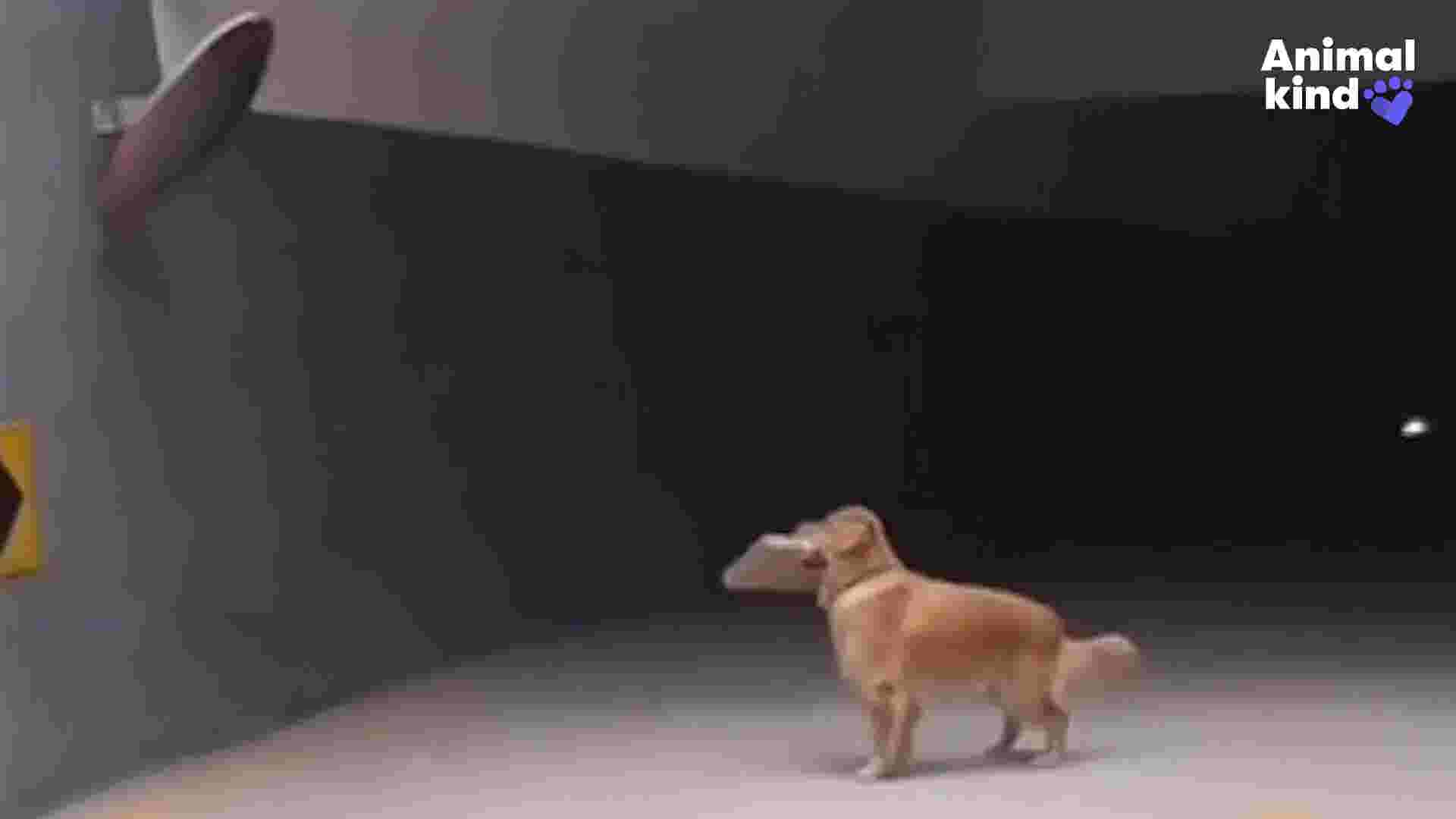 Dog sees own reflection and stops in his tracks